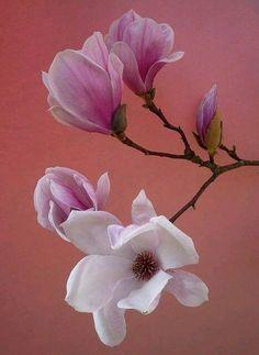 Amazing Flowers, My Flower, Flower Art, Pink Flowers, Beautiful Flowers, Flor Magnolia, Magnolia Flower, Magnolia Branch, Flower Pictures
