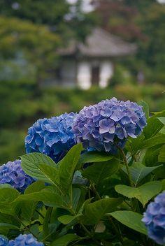 "Hydrangea garden.""Yoshimine-tera""Temple in kyoto japan."