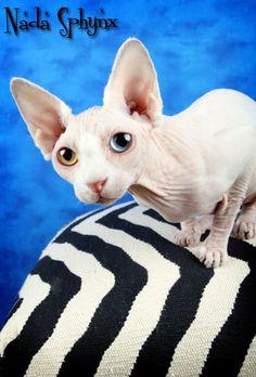 hypoallergenic kittens for sale
