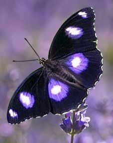 Butterfly Wallpaper, Butterfly Flowers, Butterfly Wings, Beautiful Bugs, Beautiful Butterflies, Beautiful Creatures, Animals Beautiful, Butterfly Species, Butterfly Pictures
