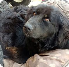 Hillsville, VA - Labrador Retriever/Border Collie Mix. Meet Lucy, a dog for adoption. http://www.adoptapet.com/pet/11143962-hillsville-virginia-labrador-retriever-mix