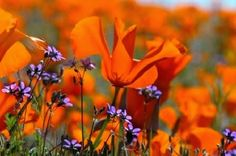 Antelope Valley California Poppy Reserve in Lancaster, California.