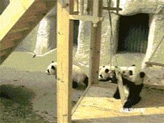 This woman's job is playing with panda bears. Good lord.