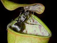 Bildergebnis für nepenthes plant
