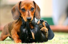For The Love of Dachshunds