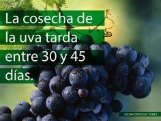 La cosecha de la uva tarda entre 30 y 45 días. SAGARPA SAGARPAMX #SomosProductores
