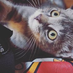 ❤Ume❤  #猫 #ねこ #ネコ #愛猫 #子猫 #cat #catstgram #ふわもこ部 #ねこ部 #肉球 #catgram #cats #catlover #love #life #happy #memory #にゃんこ #みんねこ #instcat #pet #instpet #zoo #animal #ilovecats #福岡 #fukuoka