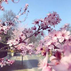 Hello Kerselaarslaan #deinze #blossoms