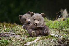 Bear cub Photo by Volodymyr Burdiak — National Geographic Your Shot Grizzly Bear Cub, Baby Bear Cub, Bear Cubs, Tiger Cubs, Cute Funny Animals, Cute Baby Animals, Animals And Pets, Wild Animals, Bear Pictures