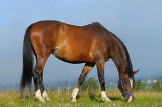 Hanoverian horses come in all solid colors, such as gray, brown, black, bay and chestnut.