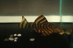 L002 Tiger Peckoltia