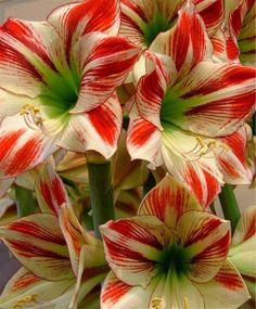 Amaryllis Ambiance - Royal Dutch Single Amaryllis - Amaryllis - Flower Bulb Index