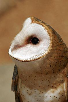Barn Owl- oh my gosh!!