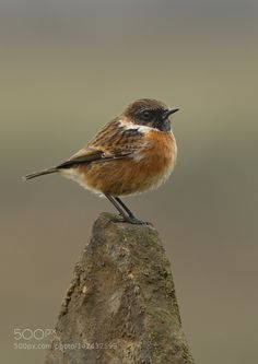 Stonechat by jrbirds #animals #animal #pet #pets #animales #animallovers #photooftheday #amazing #picoftheday