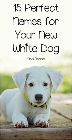 Dog Names Discover How Long Does it Take for a Rescue Dog to Adjust? How long does it take for a rescue dog to adjust? That depends quite a bit on you! Check out our dog adoption tips to help ease the transition! Cute White Dogs, White Puppies, Cute Dogs, Puppies Puppies, Cute Puppy Names, Cute Names For Dogs, Cavapoo Puppies, Mastiff Puppies, Fun Dog
