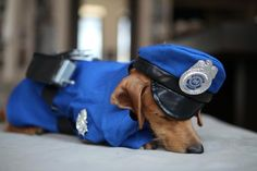 Crusoe announces his costume contest winners http://www.celebritydachshund.com/2014/11/06/halloween-best-dog-costumes/