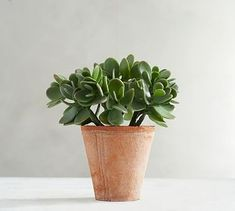 Shop Pottery Barn for stylish artificial succulents. Browse our collection of faux succulents in various sizes and add a green touch to any room. Young House Love, Faux Succulents, Faux Plants, Indoor Plants, Indoor Garden, Pottery Barn, Ceramic Pottery, Jade Succulent, Succulent Wall