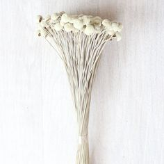 """Preserved Billy Button Bundle - Craspedia in Natural 3 oz Bunch Approximately 16"""" Tall"""