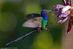 Long-Tailed Hummingbird | Swallow Tail Hummingbird