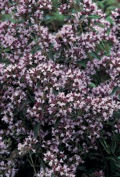 Buy pot marjoram seeds Origanum vulgare: Delivery by Crocus
