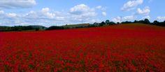 Poppy field near Kidderminster