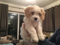 Our 9 week old Cavachon puppy, Max!!!!!!!