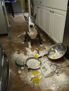 """I tried to make an omelet !"" #dogs #pets #BullTerriers     Facebook.com/sodoggonefunny"