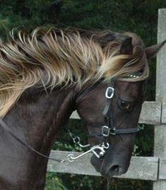 Treasure - Kentucky Rocky Mountain American Gaited Saddle Horse.