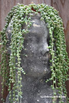 Succulents and More: String of pearls (Senecio rowleyanus) Succulents In Containers, Cacti And Succulents, Planting Succulents, Container Flowers, Container Plants, Face Planters, String Of Pearls, My Secret Garden, Plantation