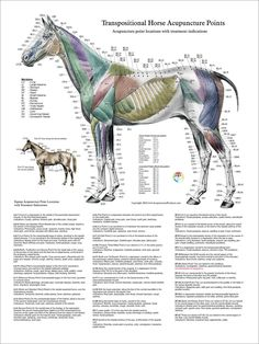 Horse Acupuncture Point Location Posters -Set of 3 - Clinical ...