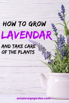 Start growing lavender alongside your garden paths or on your patio to enjoy the magnificent and unforgettable fragrance of these plants as you brush the leaves when you walk past. You will indulge… French Lavender Plant, Indoor Lavender Plant, Lavender Plant Care, Potted Lavender, Growing Lavender, Indoor Plant Pots, Pot Plants, Indoor Garden, Amazing Gardens