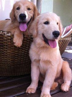 cute golden retrievers!
