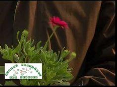 Geránios, Gitanillas, Petunias, Margaritas del Cabo, Artotis 2ª parte de 3