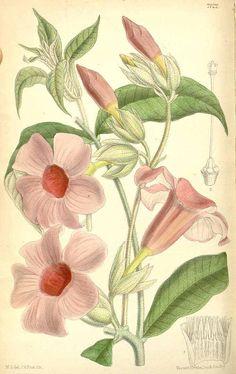 4599 Allamanda blanchetii A. DC. [as Allamanda violacea Gardner]  / Curtis's Botanical Magazine, vol. 116 [ser. 3, vol. 46]: t. 7122 (1890) [M. Smith]