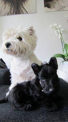 .Too cute! A classic black and white doggies.