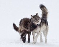 an analysis of the reasons for the removal of gray wolves from the yellowstone national park Getting ranchers to tolerate wolves—before it's too late  ever since the 1995 reintroduction of the gray wolf to yellowstone national park and central idaho .
