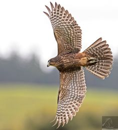 Seen in this image is a juvenile female New Zealand falcon in flight - image captured at Wingspan National Bird of Prey Centre, Rotorua NZ… All Birds, Birds Of Prey, Hawk Tattoo, Hawk Photos, Bird Drawings, Drawing Birds, Stained Glass Flowers, Majestic Animals, Bird Art