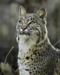 The Bobcat – Resilient Predator of North America ~ The Ark In Space. Wowsers, the eyes! The eyeeess!