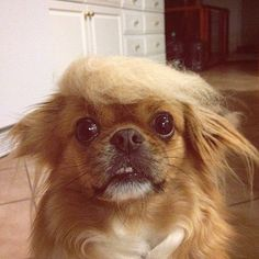 Trump Your Dog. Brush your dog. Form the hair you brushed into a toupee.  Place toupee on cat or dog. LOL