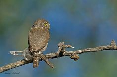 The Northern Pygmy Owl did not want to share its catch, by the looks if it, it robbed a nest. Amar