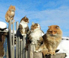 These Siberian cats are beautiful and majestic, and they really don't mind the snow!