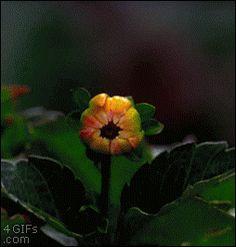 TIME LAPSE FLOWER PINK Dahlia flower blooms - Imgur