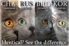 blue cats - left to right: chartreuse, russian blue, british ...
