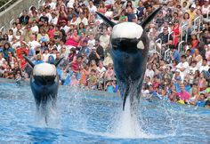 Orcas- Kalia and Kasatka... This was from my 2009 trip. After my 2011 trip, I made a promise to never step foot past the front gates of a Sea World ever again. No way are they going to treat wild animals like this and get my support. Hell no.