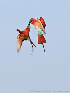 Carmine bee-eaters - mating ritual, Zambezi River  @Hennie Cilliers https://www.facebook.com/144196109068278/photos/pb.144196109068278.-2207520000.1419025257./202110979943457/?type=3&theater