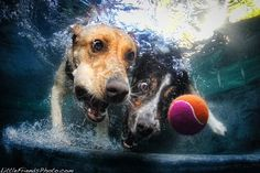 Dogs underwater. That ball is mine!!!