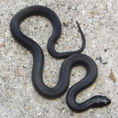 mexican-black-king-snake-male-c79.jpg (1000×1000)