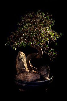 Chinese Elm (Ulmnus parvifolia)