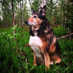 Epeli Emppu Ebelix Jäppinen Jäpälä (rakkaalla koiralla on monta nimeä) nauttii keväisestä illasta. #pooch #mutt #t