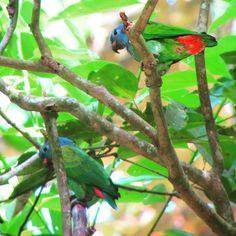 Blue Headed #Parrot. Pionus menstrus. Parque Natural Metropolitano. #birding #nature #Panama